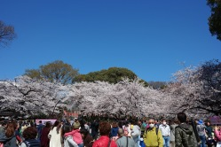 There are thousands of people viewing the blossoms.