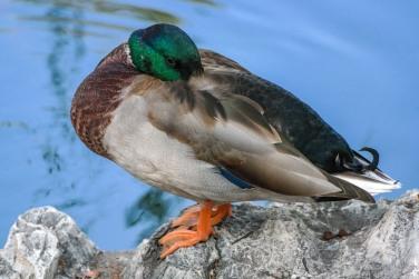 #duck